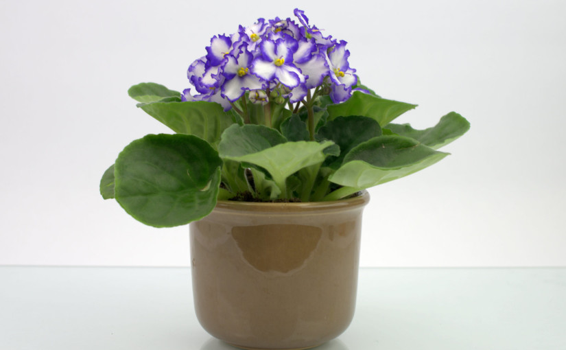 Violet in Pot